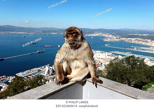 A barbary macaque sitting on a fence at the Gibraltar Cable Car top station
