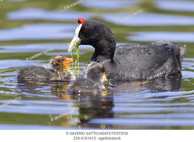 Red-knobbed Coot (Fulica cristata), adult feeding its chicks