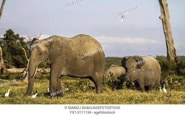 African Elephant herd feedingg in the marsh in Ol pejeta, laikipia, Kenya