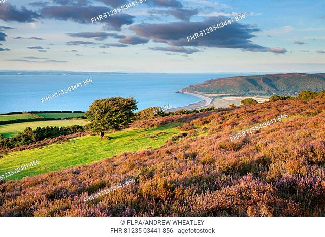 View of coastline with flowering heather and hawthorn tree, looking towards Bossington to Hurlstone Point and across to Wales, Bristol Channel, Porlock Hill