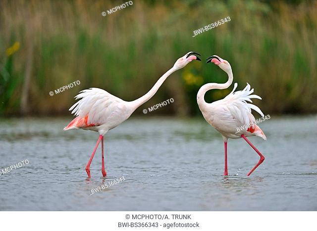 Greater flamingo, American flamingo, Caribbean Flamingo (Phoenicopterus ruber ruber), mating, USA, Florida, Everglades National Park