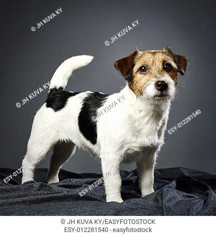 Cute adult Jack Russell terrier, four years old female - studio shot and gray background