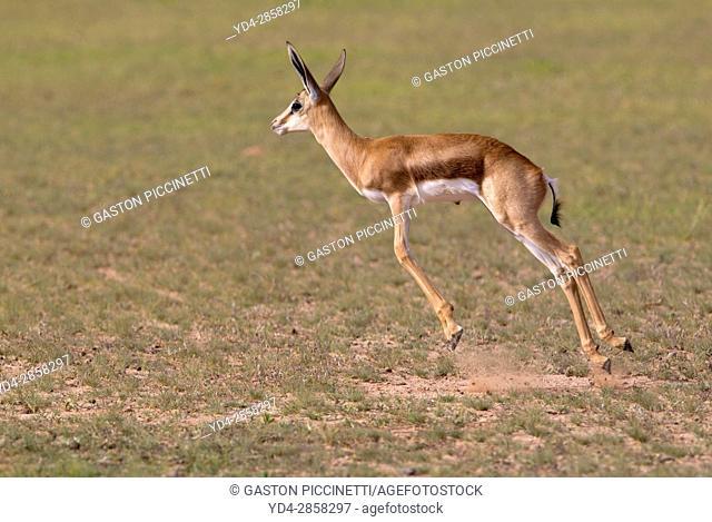 Springbok (Antodorcas marsupialis) - Lamb, jumping, Kgalagadi Transfrontier Park in rainy season, Kalhari Desert, South Africa/Botswana