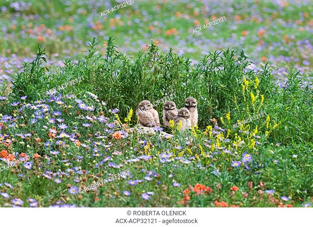 Burrowing owl Athene cunicularia, chicks at burrow among flowers, near Pawnee National Grassland, Colorado