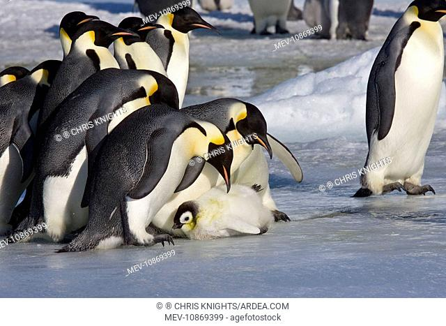Emperor Penguin - Adults looking at chick which just survived a kidnap attempt by adults who had possibly lost there own (Aptenodytes forsteri)