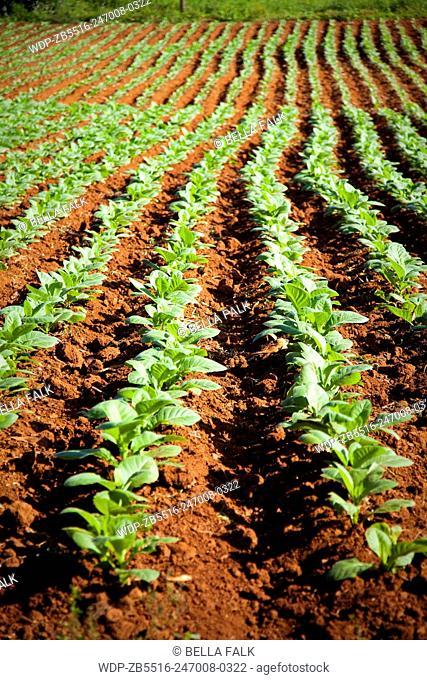 Tobacco field in the Vinales valley, Cuba