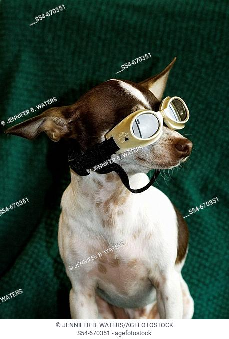 An adult male Chihuahua wearing goggles