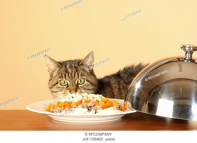 tabby domestic cat at table with food
