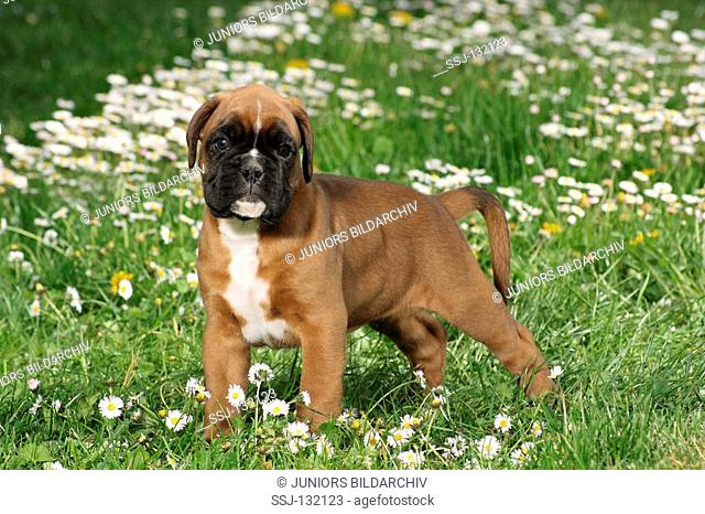 Boxer - puppy standing on meadow