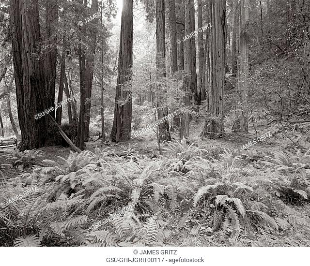 Ferns and Redwood Trees, Redwoods National Park, California, USA