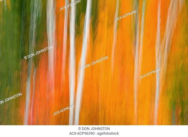 Autumn foliage, camara pan, with birch and aspen tree trunks, Greater Sudbury, Ontario, Canada