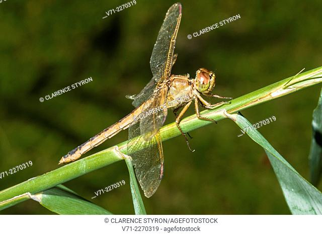 Needham's Skimmer Dragonfly (Libellula needhami) on Phragmites australis Stem