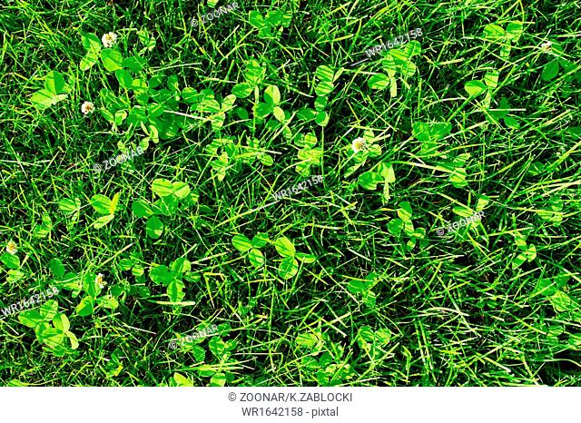 Green grass meadow background. Turf clover
