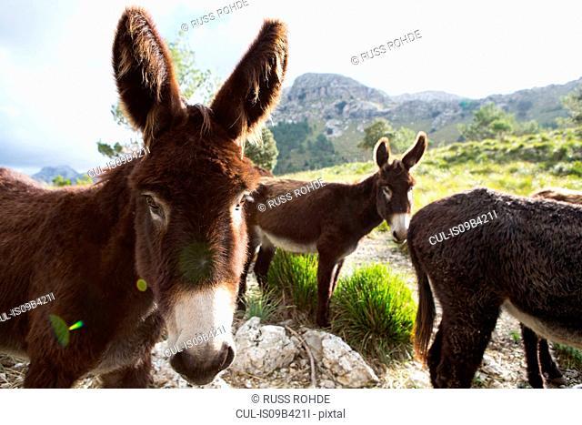 Catalan donkeys in the La Tramuntana mountain range, Majorca, Spain