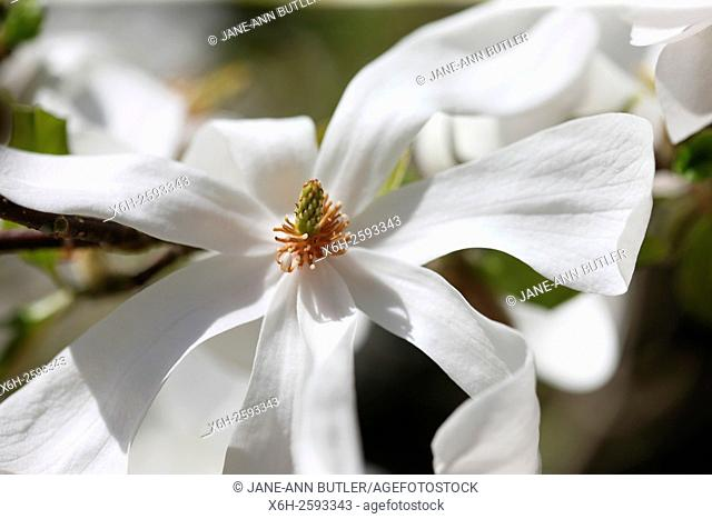 the stunning magnolia stellata 'merrill' an early Spring beauty
