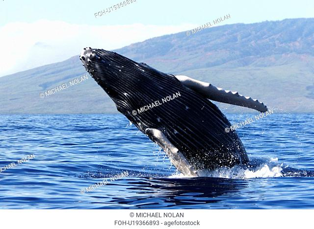 Humpback whale Megaptera novaeangliae calf breaching in the AuAu Channel, Maui, Hawaii, USA. Pacific Ocean