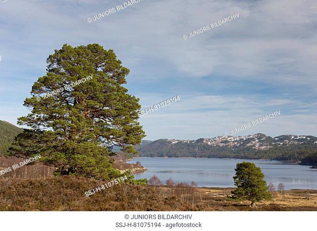 Scots Pines (Pinus sylvestris) mirrored in Loch Beinn a Mheadhoin, Glen Affric, Scotland