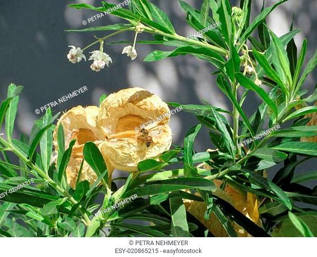 Baumwoll-Seidenpflanze - Gomphocarpus fruticosus