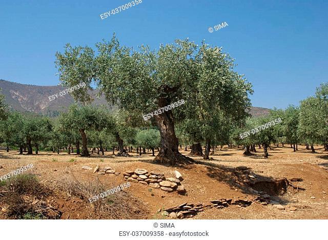 Olive tree planting on Thassos island Greece