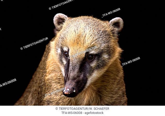 ring-tailed coati