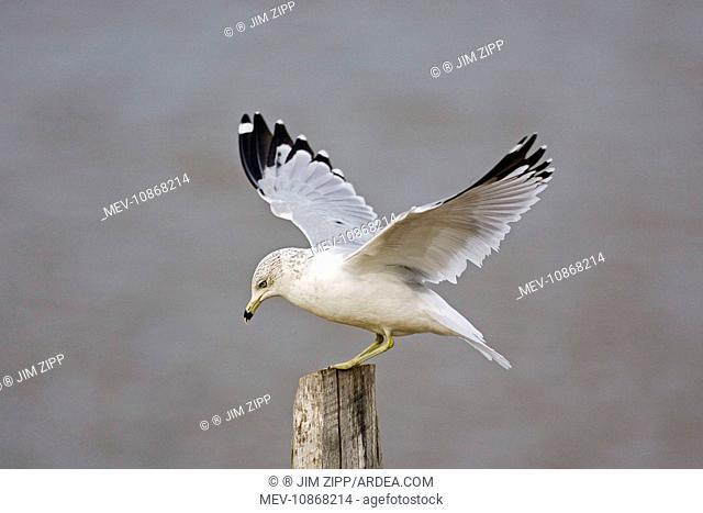 Ring-billed Gull (Larus delawarensis). USA