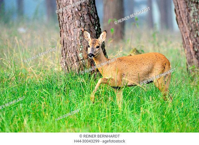 Capreolus capreolus, European roe deer, field roe deer, nature, cloven-hoofed animal, roe deer, roe deer in the summer fur, roe deer, animal, Trughirsche, wood