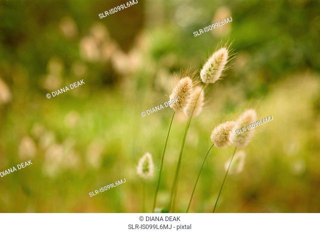 Harestail grass, close up