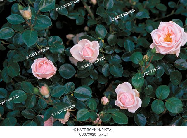 "Roses (Rosa x ""New Dawn"")"