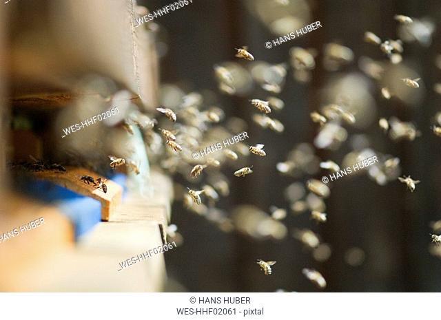 Honeybee hives Apis mellifera