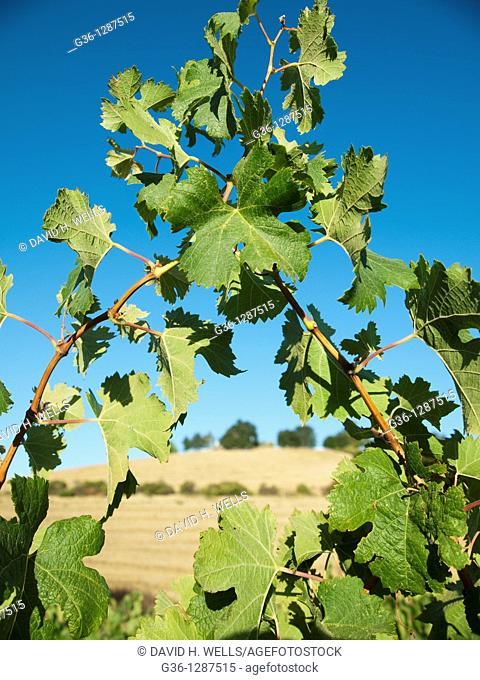 Grape vines in vineyard near Paso Robles, California, United States America