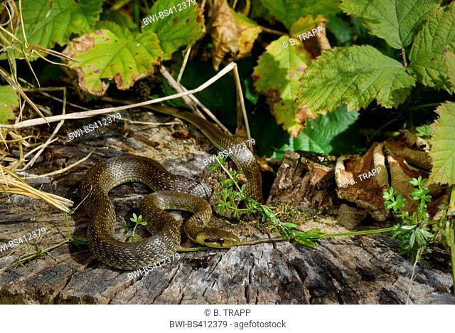 Aesculapian snake (Elaphe longissima, Zamenis longissimus), juvenile Aesculapian snake sunbathing on a tree snag, Germany, Odenwald