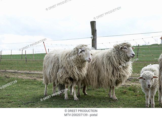 Sheep standing in the field, Bavaria, Germany