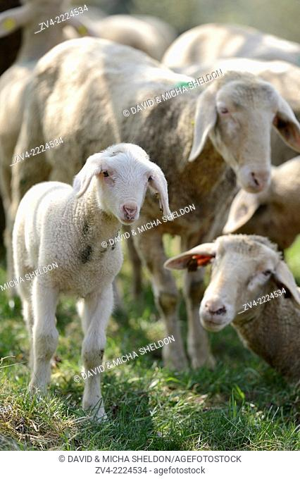 Close-up of a sheep (Ovis aries) lamb in a fruit grove in spring