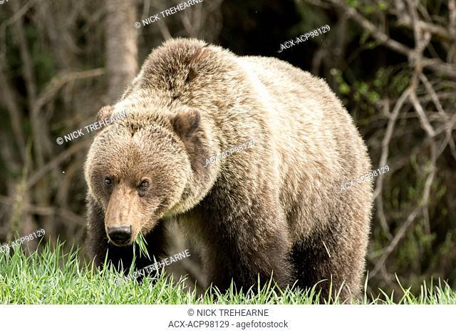 Ursus arctos horribilis, Grizzly Bear, Rocky Mountains, British Columbia, Canada
