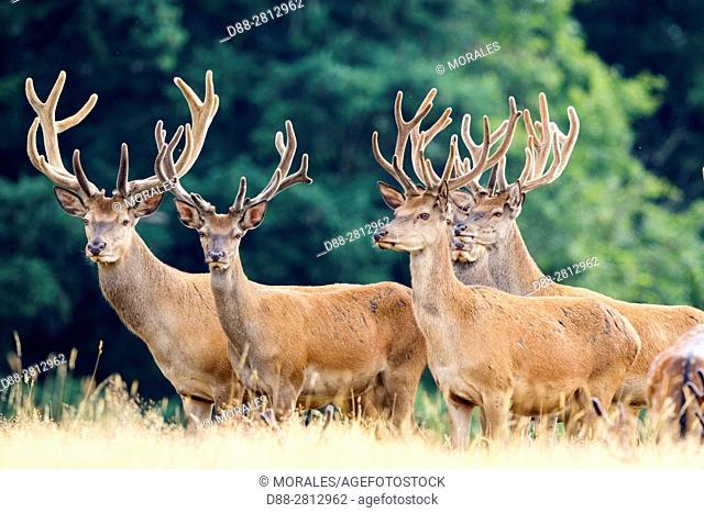 France, Haute Saone, Private park, Red Deer (Cervus elaphus), Male red deer with antlers whose velvet begins to fall