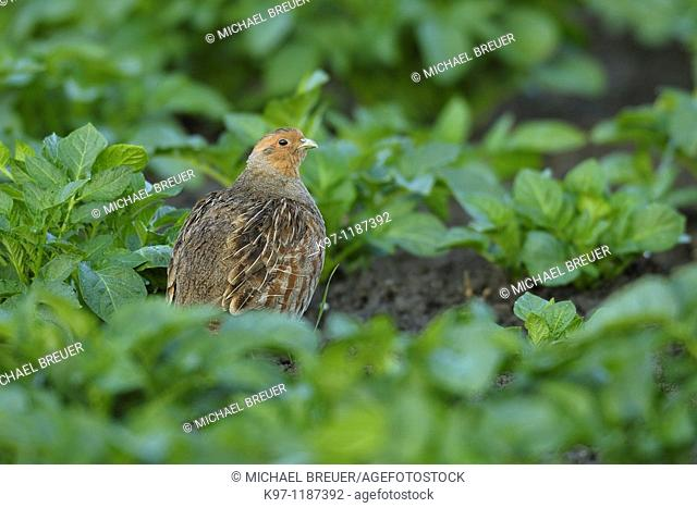 Grey partridge (Perdix perdix) in potato field, Spring, Germany