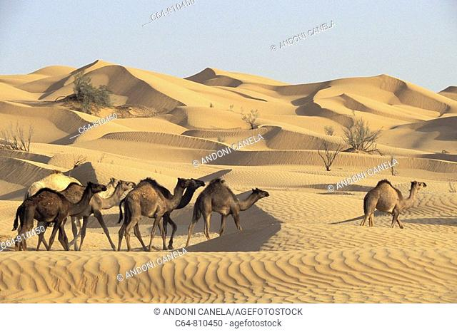Camels at the Rub' al Khali ('Empty Quarter' in English) great sand desert, Oman, Arabian Peninsula