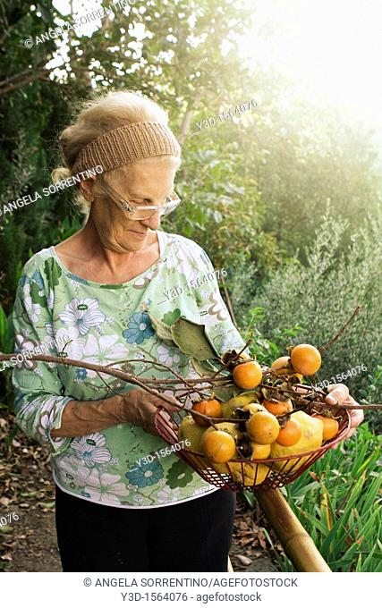 Senior woman in countryside with basket of persimmons during fall season