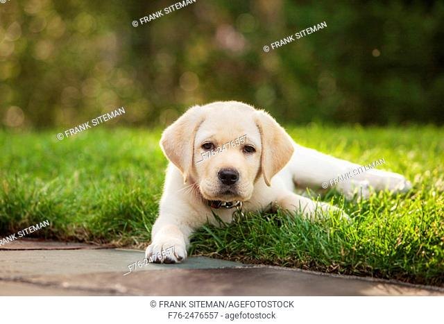 portrait of 12 week old Yellow labroador retriever puppy lying on grass. MR# 4862