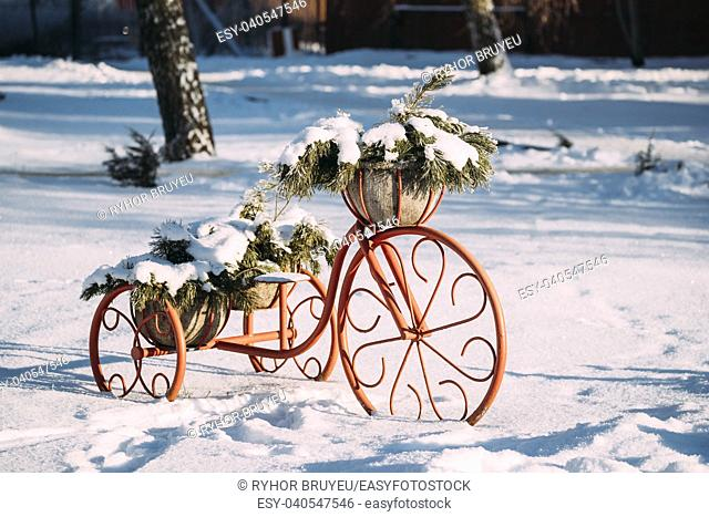 Decorative Vintage Model Old Bicycle Equipped Basket Of Pine Snowy Branches At Winter Sunny Day