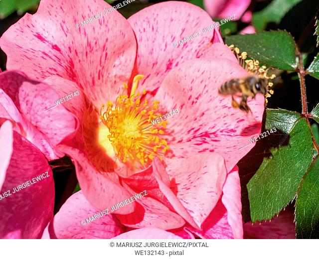 California wild rose, is a species of rose native to the U.S. states of California and Oregon and the northern part of Baja California, Mexico