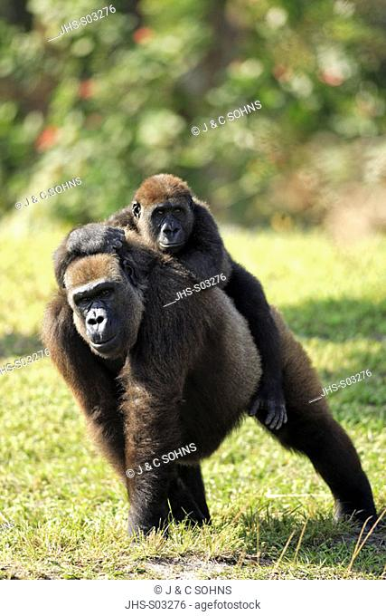 Lowland Gorilla, Gorilla g. gorilla, Africa, adult female with baby riding on back