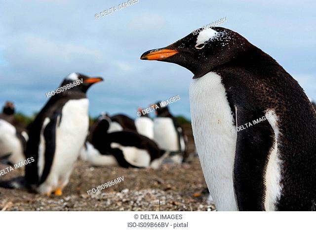 Portrait of a Gentoo penguin (Pygoscelis papua), Port Stanley, Falkland Islands, South America