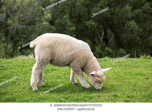 A yong lamb grazes