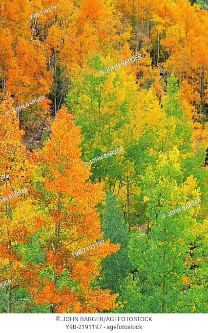 Fall-colored quaking aspen (Populus tremuloides) groves displaying wide color variation, San Juan National Forest, southwest Colorado, USA