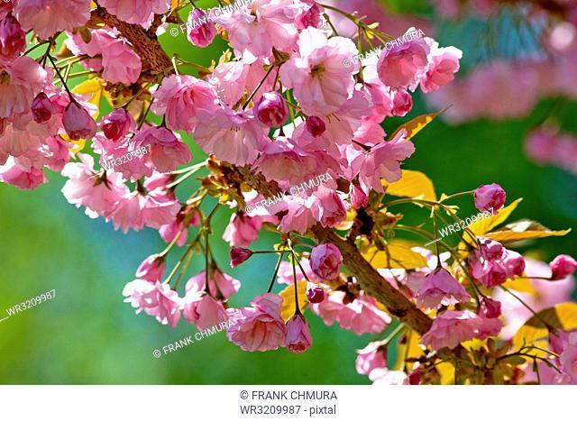 Japanese Pink Cherry Blossom Sakura Tree in Blossom