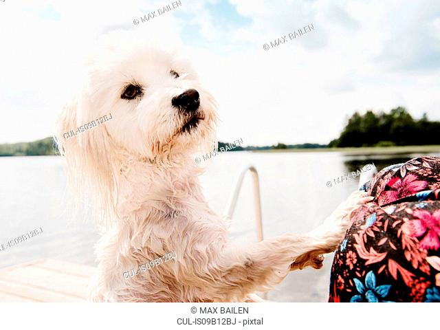 Coton de tulear dog on hind legs after swimming, Orivesi, Finland
