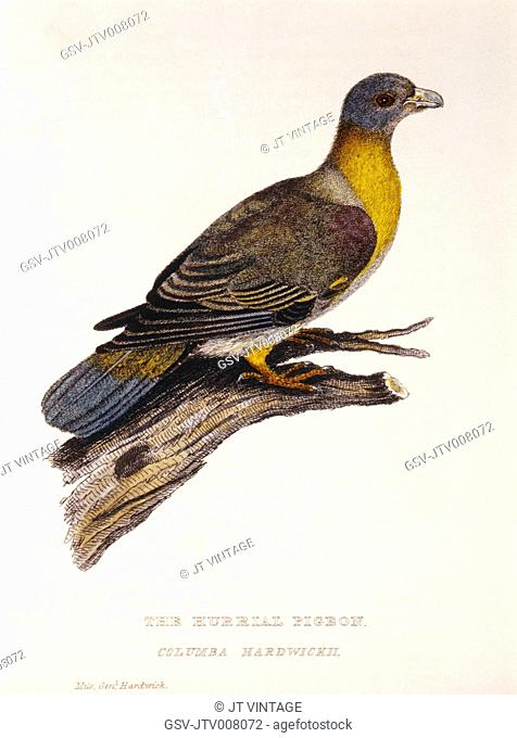 Hurrial Pigeon, Columba Hardwickii, Hand-Colored Engraving from Original by Baron Cuvier, circa 1829