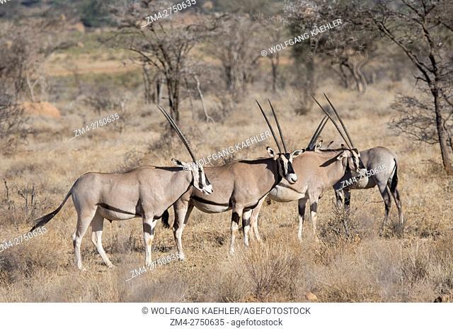 A herd of East African Oryx (Oryx beisa) in Samburu National Reserve in Kenya