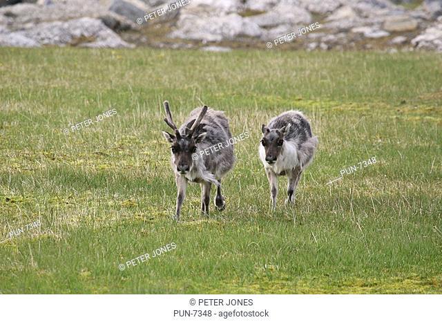 Svalbard reindeer Rangifer tarandus platyrhynchus mother and calf in Arctic tundra
